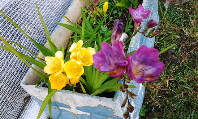 Colourful freesia growing in flower box