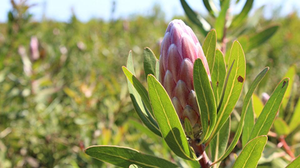 Plett-Proteas