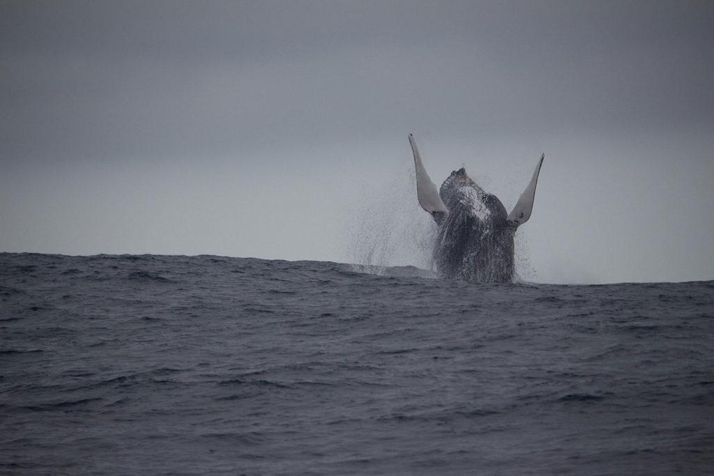 whale-breaching-plett